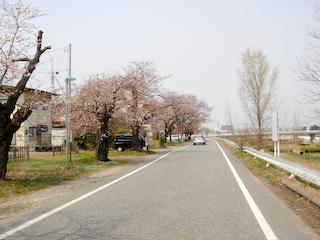 20090411馬見ヶ崎川沿い桜