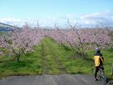 20090424鍋越峠ツーリング_桃の花