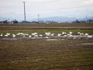 20070331川西_白鳥