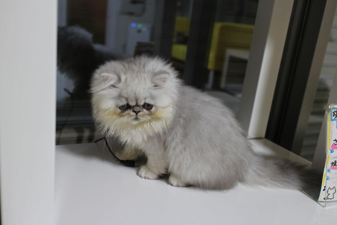 黒猫楽天ペイアプリに対応しました。ユイちゃん(♀)猫スタッフ総選挙中間報告猫スタッフ総選挙11月末甲子園口に猫カフェがあります!