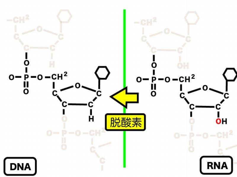 リボ核酸 - RNA