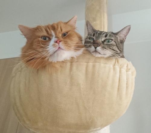 猫写真_ハンモックに一緒に入る2匹
