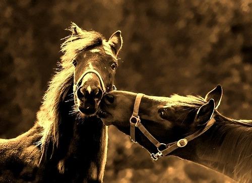 horses-998300_640