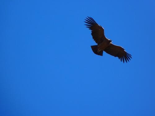 andean-condor-43303_640