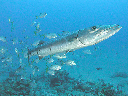 Great_Barracuda_off_the_Netherland_Antilles