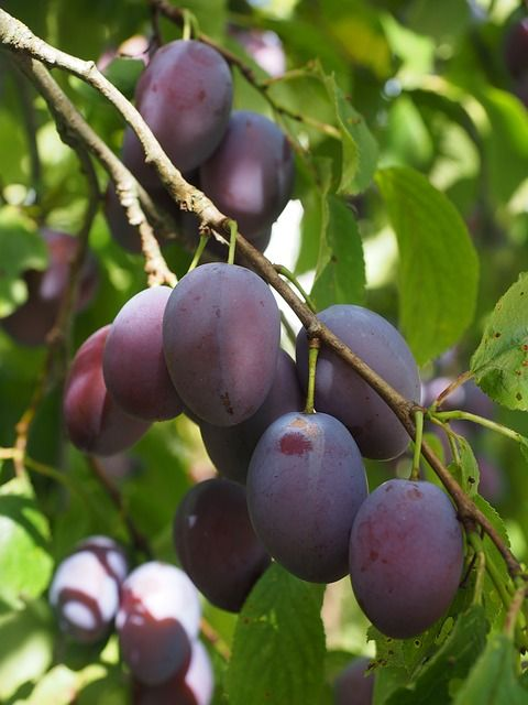 plums-693537_640