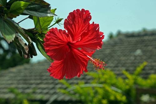 hibiscus-787030_640