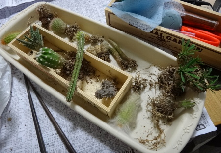 サボテン植え替え中