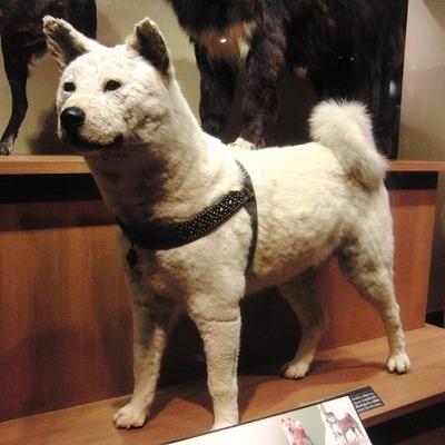 600px-Hachiko_Stuffed_specimen