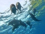 御蔵島 イルカ