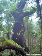 御蔵島の巨樹