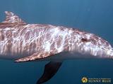 御蔵島 ミナミハンドウイルカ
