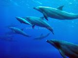 御蔵島ミナミハンドウイルカ