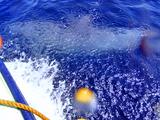 船から離れない!御蔵島イルカ