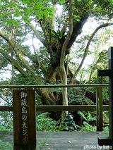 御蔵島のオオジイ