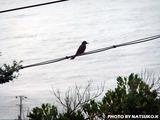 御蔵島 野鳥