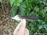 オオミズナギドリの羽