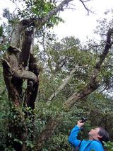 クワの木からオオシマザクラ