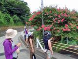 御蔵島散策中 サルスベリ