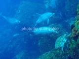 御蔵島 イルカvsウミガメ
