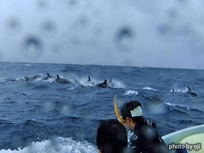 御蔵島 オキゴンドウクジラ