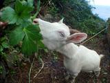 山羊のハナちゃん