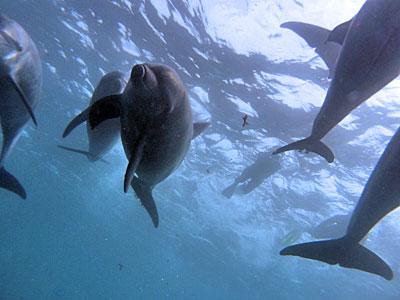 御蔵島 野生イルカ
