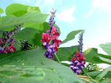 御蔵島の花 クズ