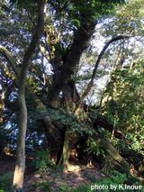 御蔵島・南郷巨樹オオジイ(日本第一位のスダジイの木)