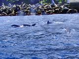 御蔵島港まで付いてきちゃったイルカたち