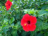 御蔵島の花 ハイビスカス