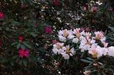 藤見公園のシャクナゲと桜 (3)