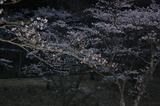 高森町・九十九曲・ソメイヨシノ (9)