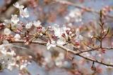 西都原公園の桜もツボミがたくさん付いて (2)