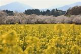 菜の花と桜 (4)