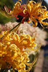 庭の彼岸花 (2)