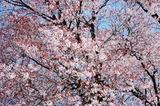 大坪の1本桜満開 (2)
