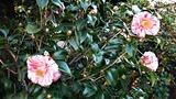 庭で咲き始めた椿 (2)