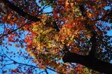 用作公園の紅葉 (7)