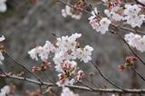 西都原公園の桜 (1)