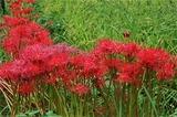 花水流の彼岸花 (1)