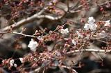西都原公園の桜もツボミがたくさん付いて (1)
