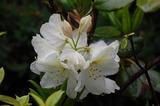 庭のシャクナゲ (1)
