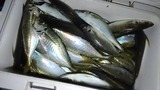 2日に美々津沖磯で釣れたアジ