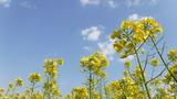 青空に映える菜の花 (1)
