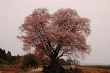 大坪の1本桜 (1)