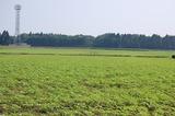 キャベツ畑のひまわり (5)