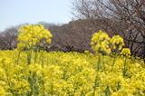 西都原公園の菜の花 (4)