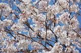 西都原公園の桜も咲き始めて (4)