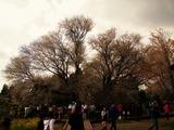 2010一心行の桜 (3)